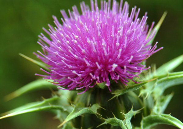 This Super Herb Improves Immune Health